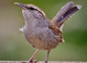 Bewick's Wren taken by Dan Mitchell in our backyard in Tigard, Oregon on 4/19/2008